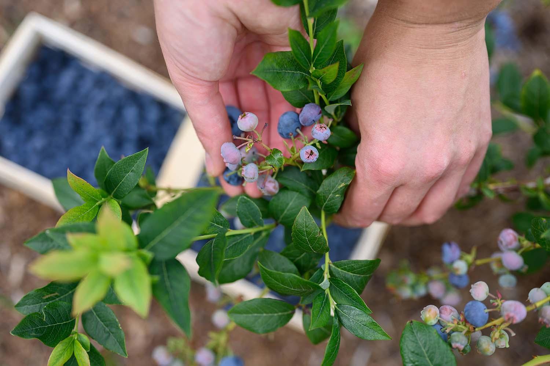 Franziska pflückt Heidelbeeren