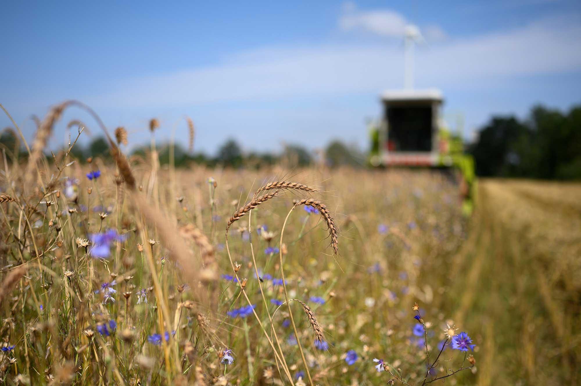 Der Mähdrescher bei der Getreide-Ernte