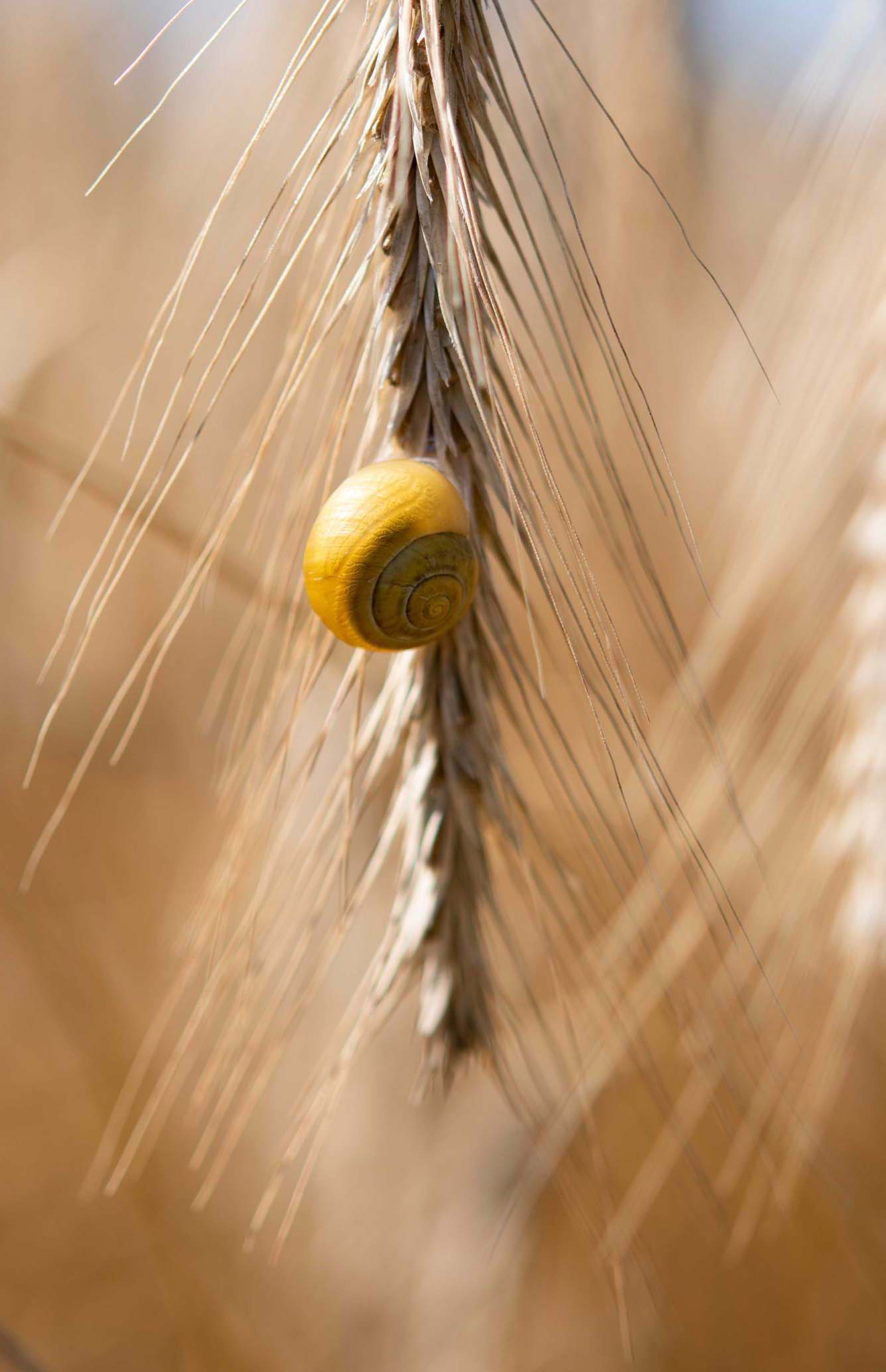 Eine Schnecke an einem Halm Getreide