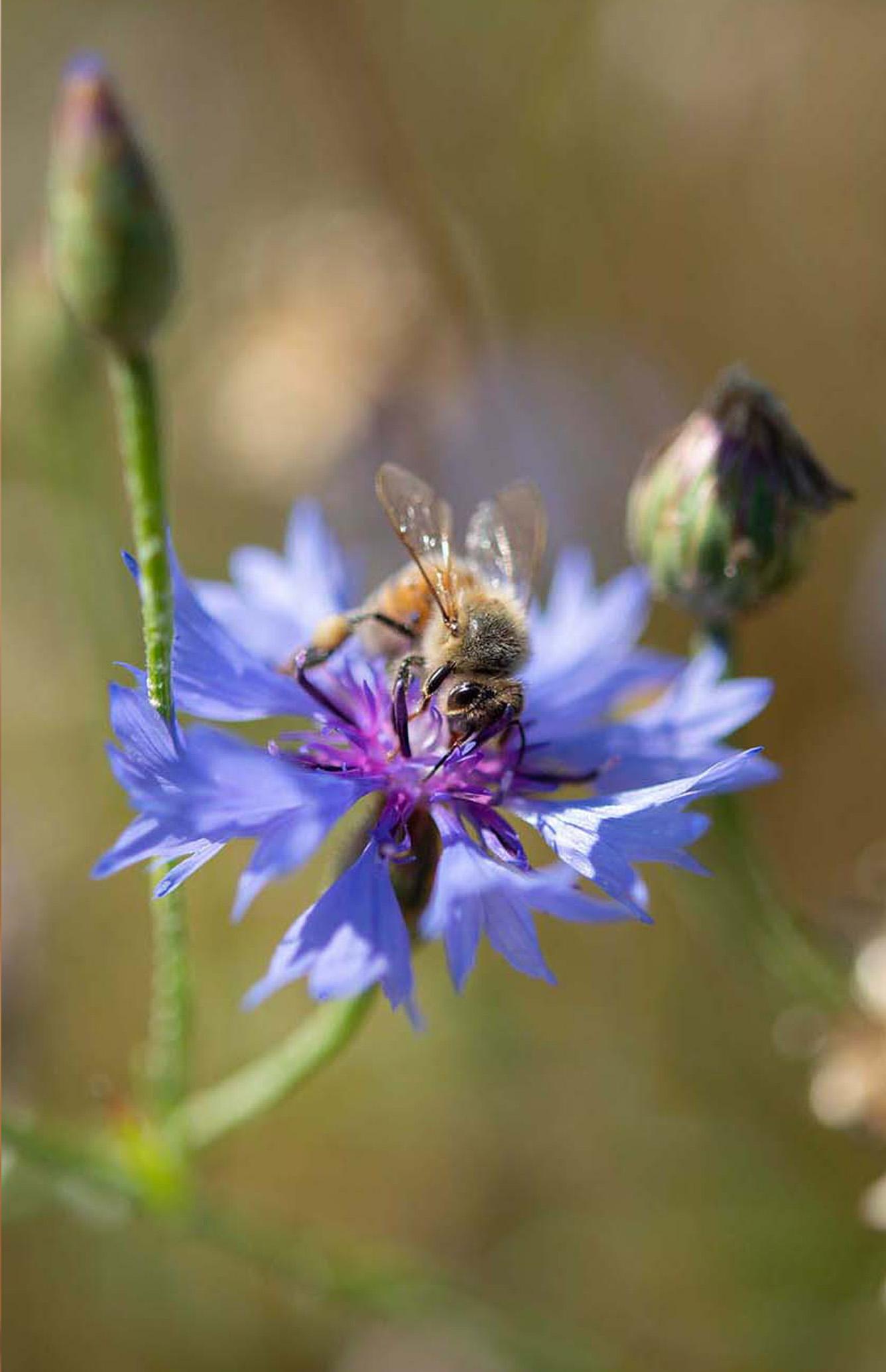 Eine Biene auf einer Kornblume
