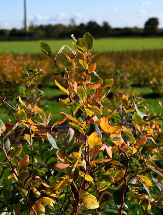 Ein Strauch Heidelbeeren im Herbst