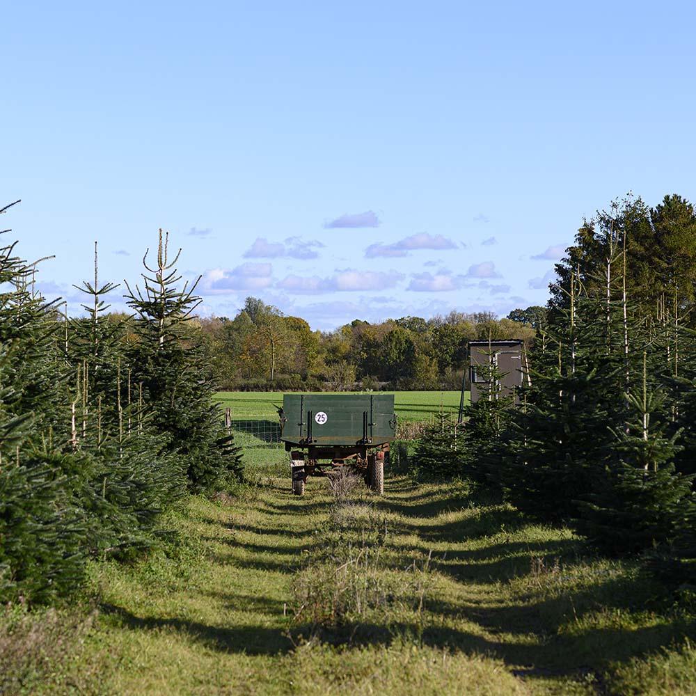 Ein Feld mit Tannenbäumen
