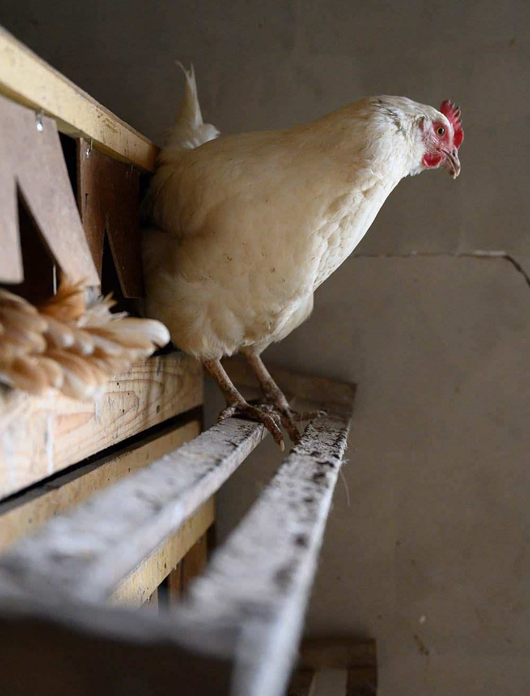 Ein Huhn sitzt auf einer Stange
