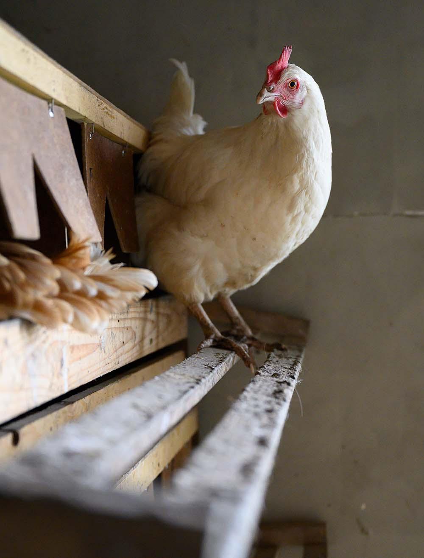 Ein Huhn sitzt auf der Stange und guckt