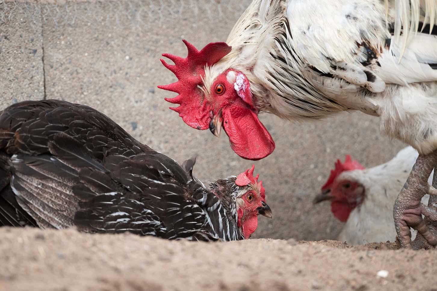 Hahn und Hühner beim Sandbaden