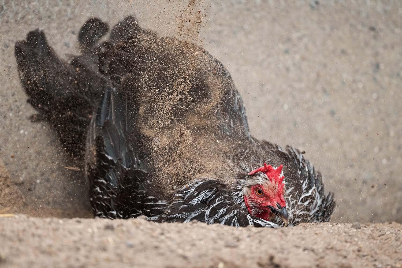 Ein freilaufendes Huhn badet im Sand