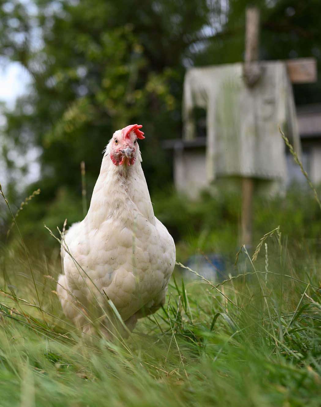 Freilaufendes Huhn auf einer Wiese