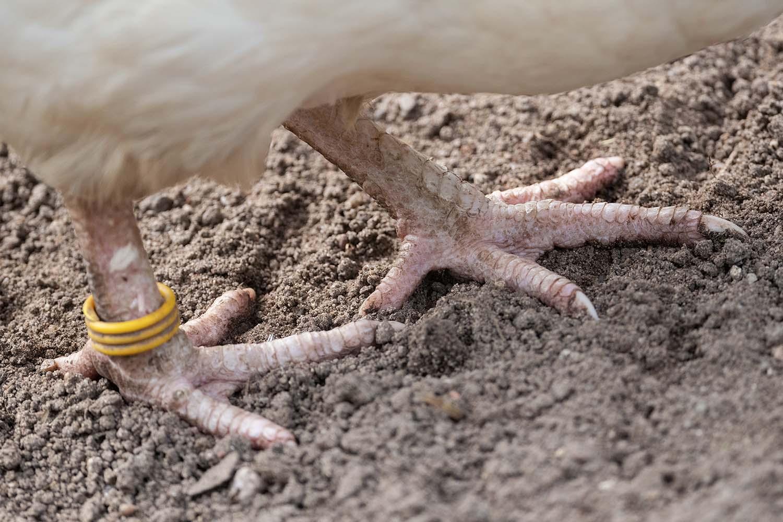 Füße eines freilaufenden Huhns
