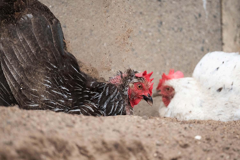 Freilaufende Hühner baden im Sand