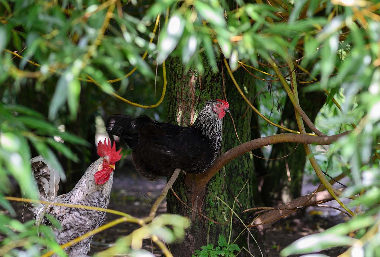 Freilaufende Hühner sitzen im Baum