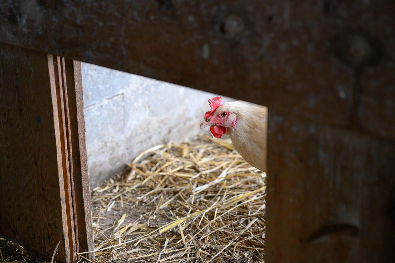 Ein Huhn läuft in den Stall