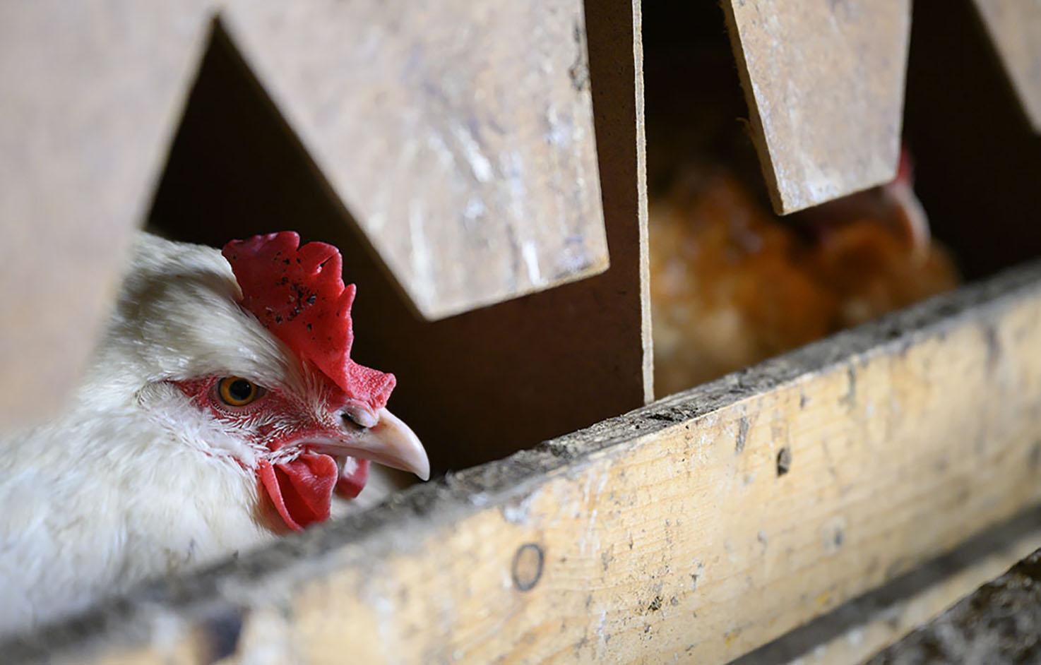 Ein Huhn guckt aus dem Nest