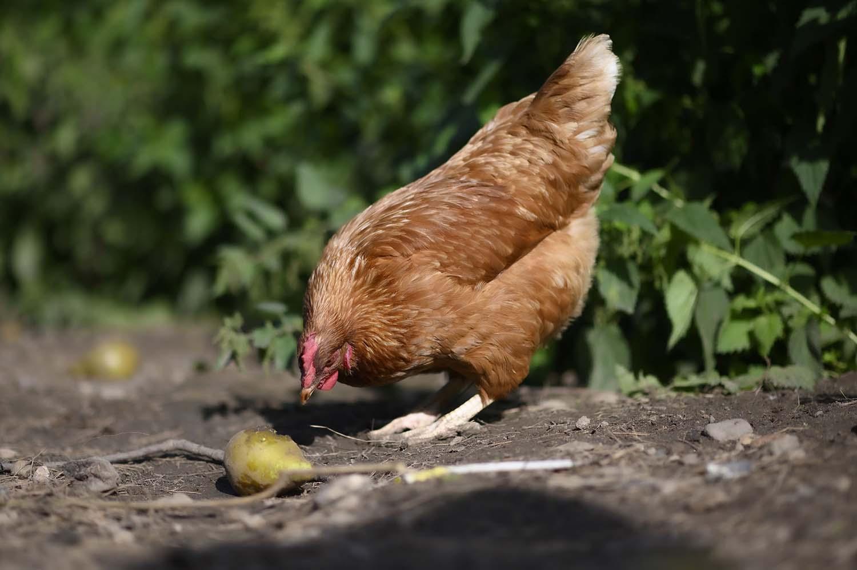 Ein Huhn pickt an einer Birne