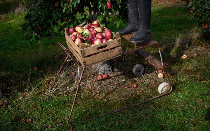 Lasse pflückt Äpfel