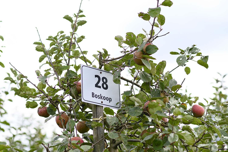 Ein Apfelbaum mit Äpfeln