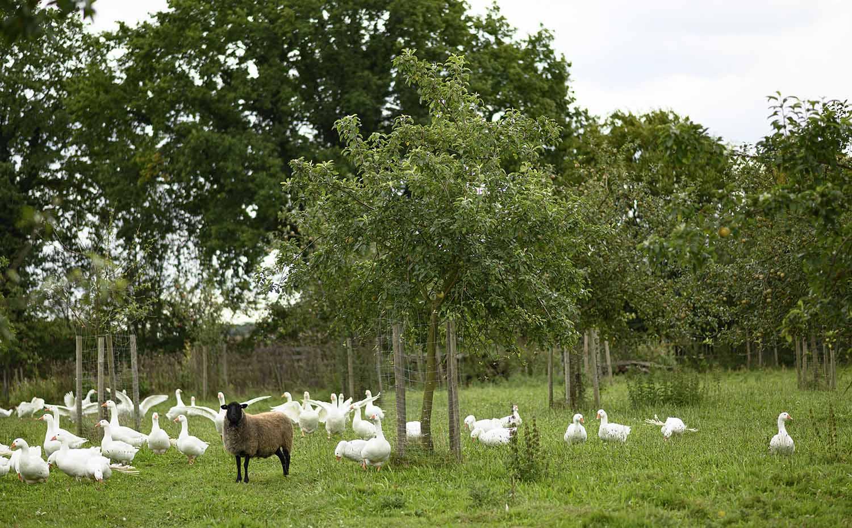 Schafe und Gänse auf dem Feld