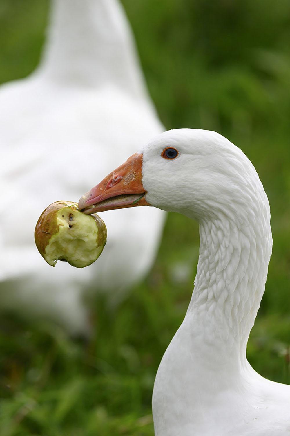 Eine Gans frisst einen Apfel