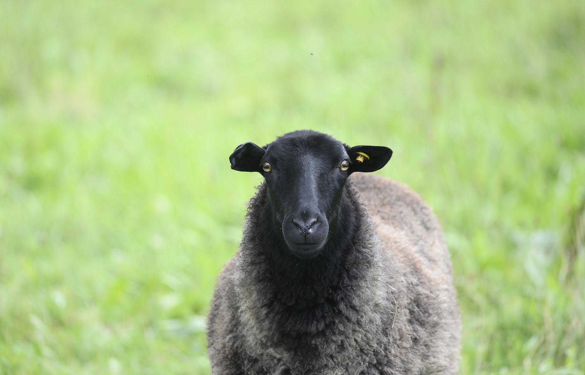 Ein Schaf auf dem Feld
