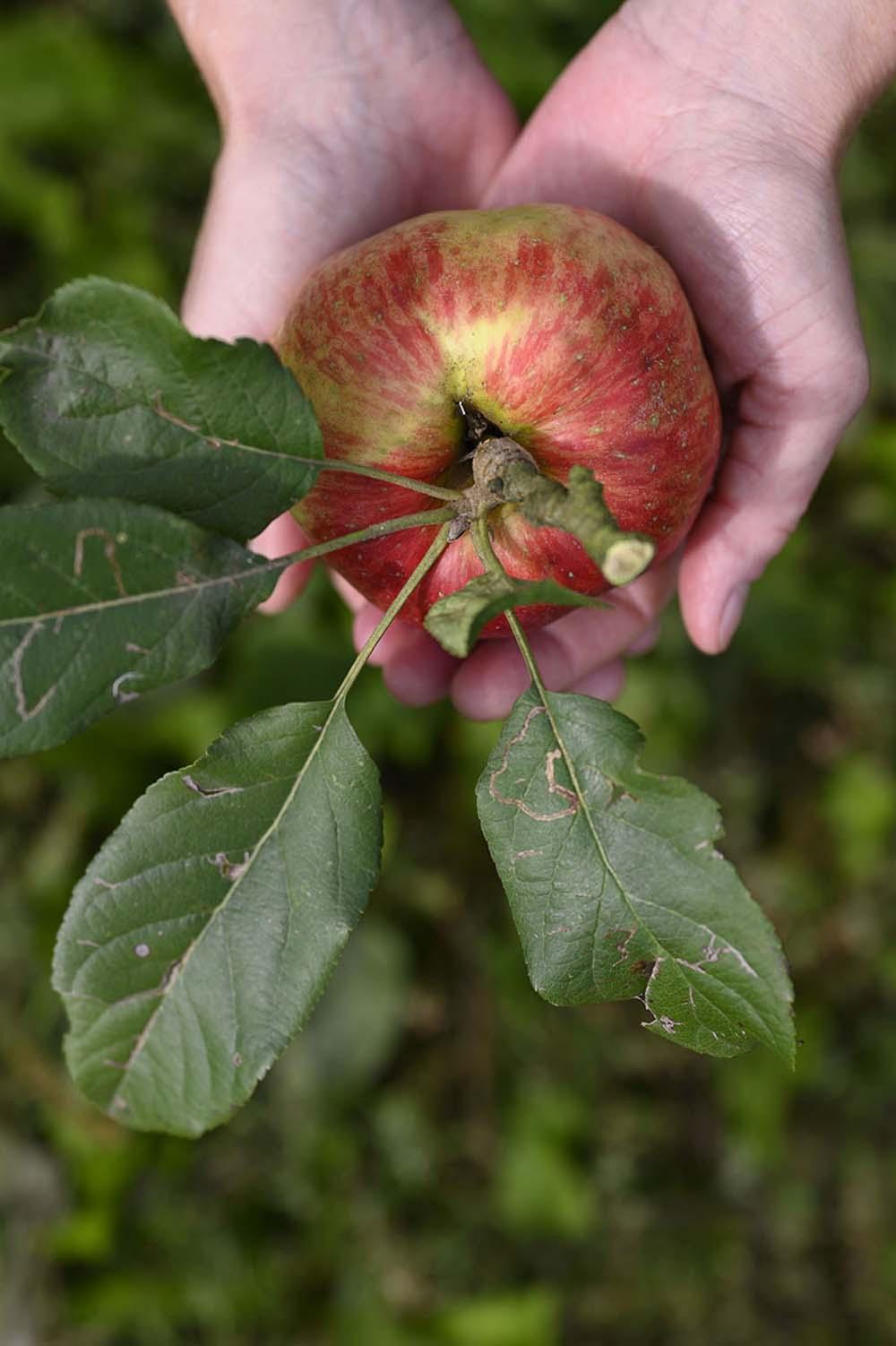 Ein frischer Apfel in der Hand