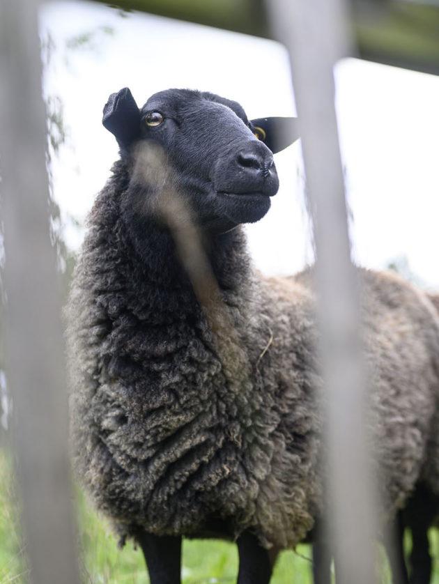 Ein Schaf guckt durch einen Holzzaun