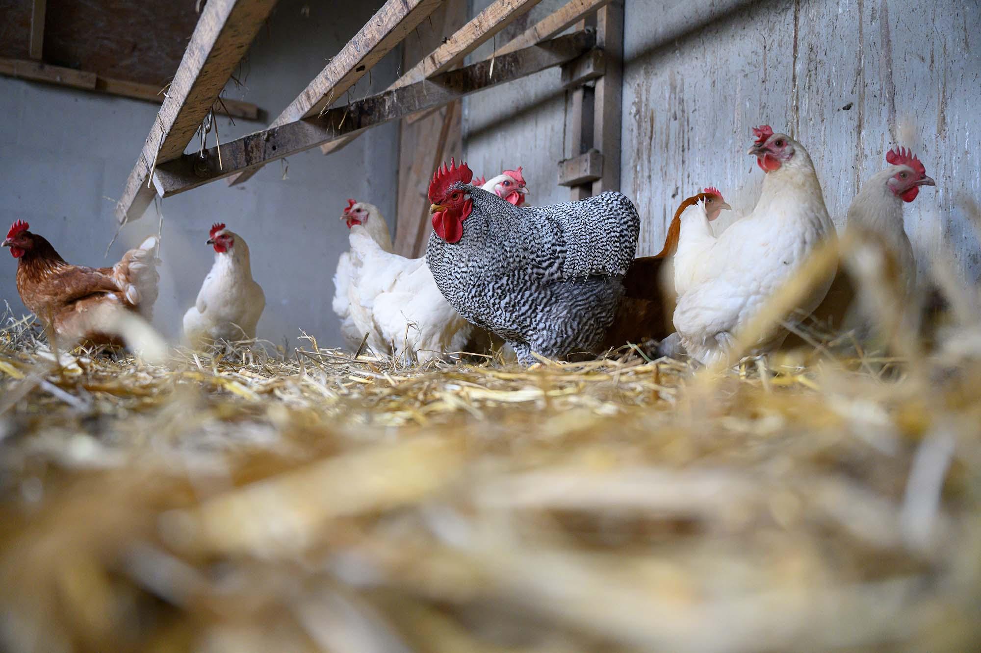 Freilaufende Hühner in ihrem Stall