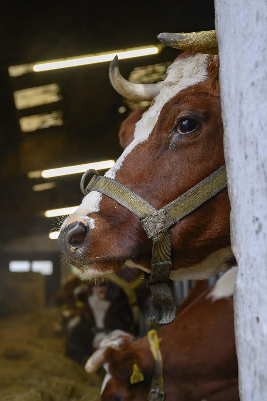 Kühe neben der Käserei