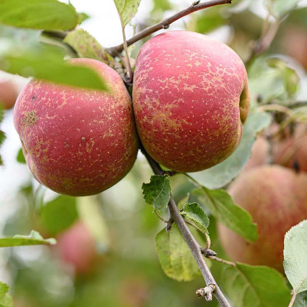Frische Äpfel für unseren Apfelkuchen aus Rührteig