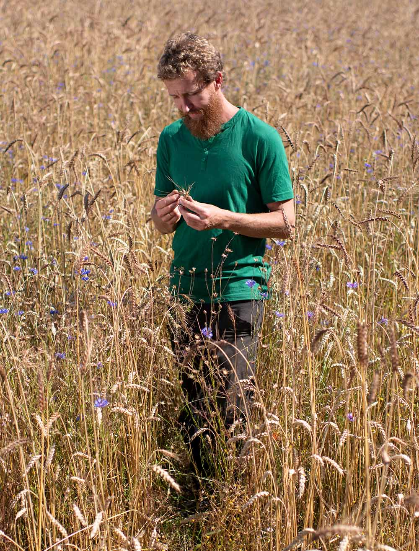 Getreide-Bauer Philipp begutachtet einen Halm Getreide