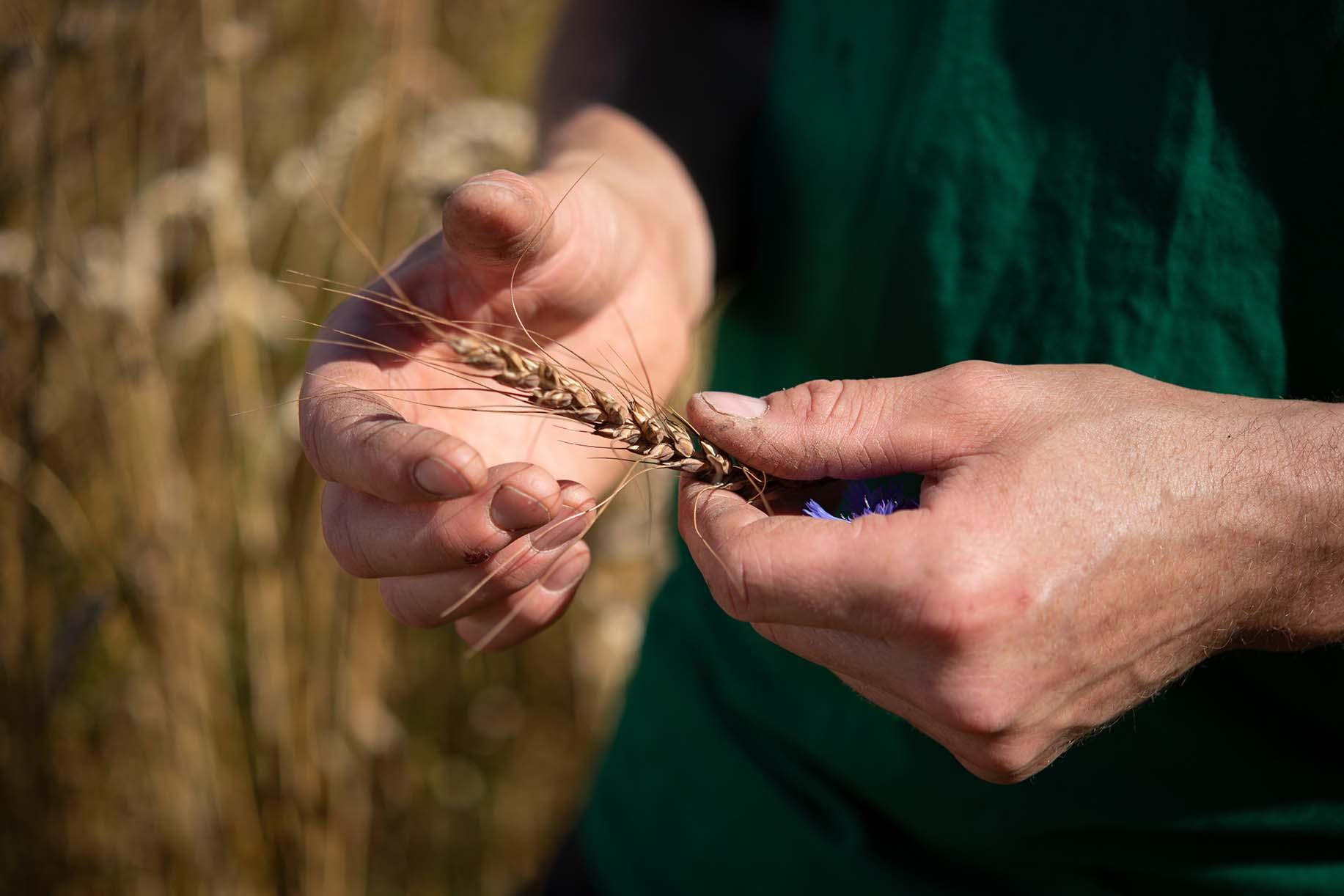 Philipp hält einen Halm Getreide in der Hand