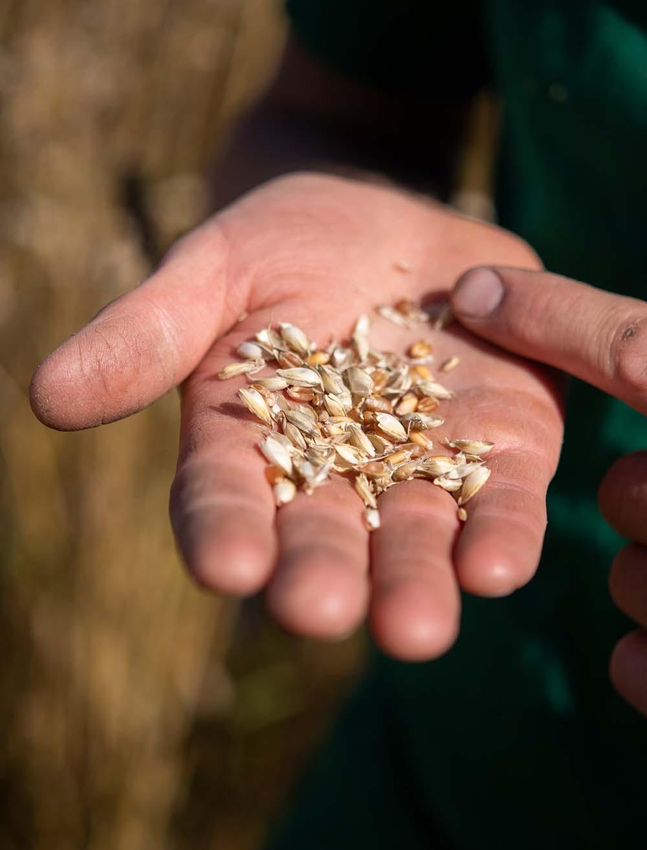 Landwirt Philipp hält Getreide in der Hand