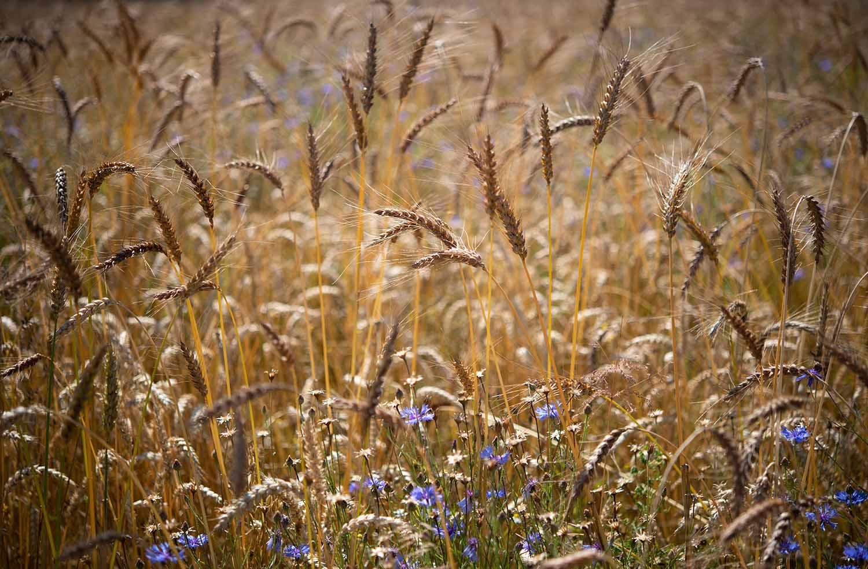 Blick über das Getreide-Feld