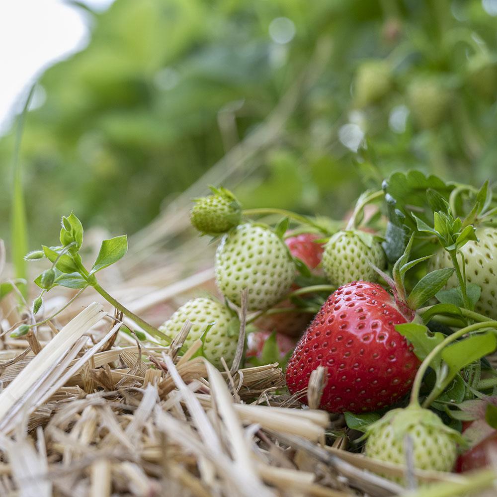 Erdbeeren am Strauch