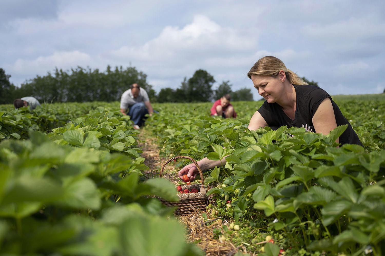 Erdbeeren auf dem Feld zum Selbstpflücken