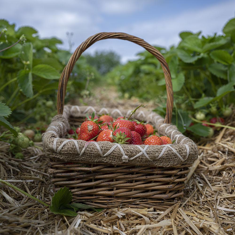 Ein Korb mit frisch gepflückten Erdbeeren