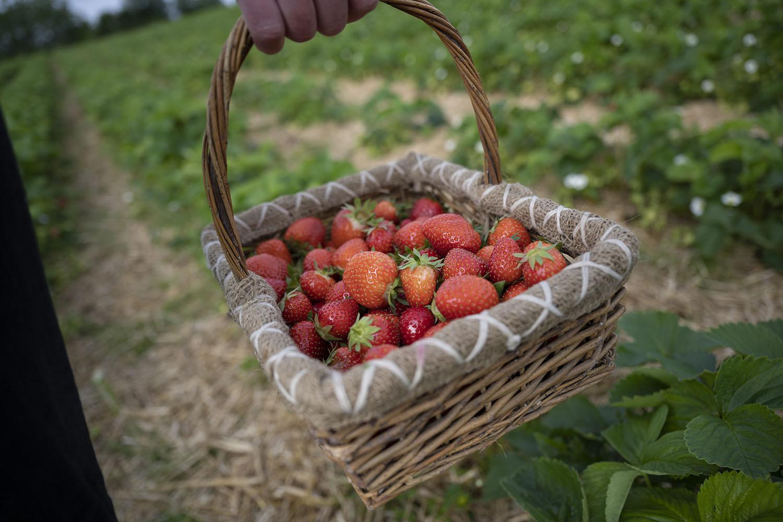 Jessica Piper trägt frische Erdbeeren vom Feld