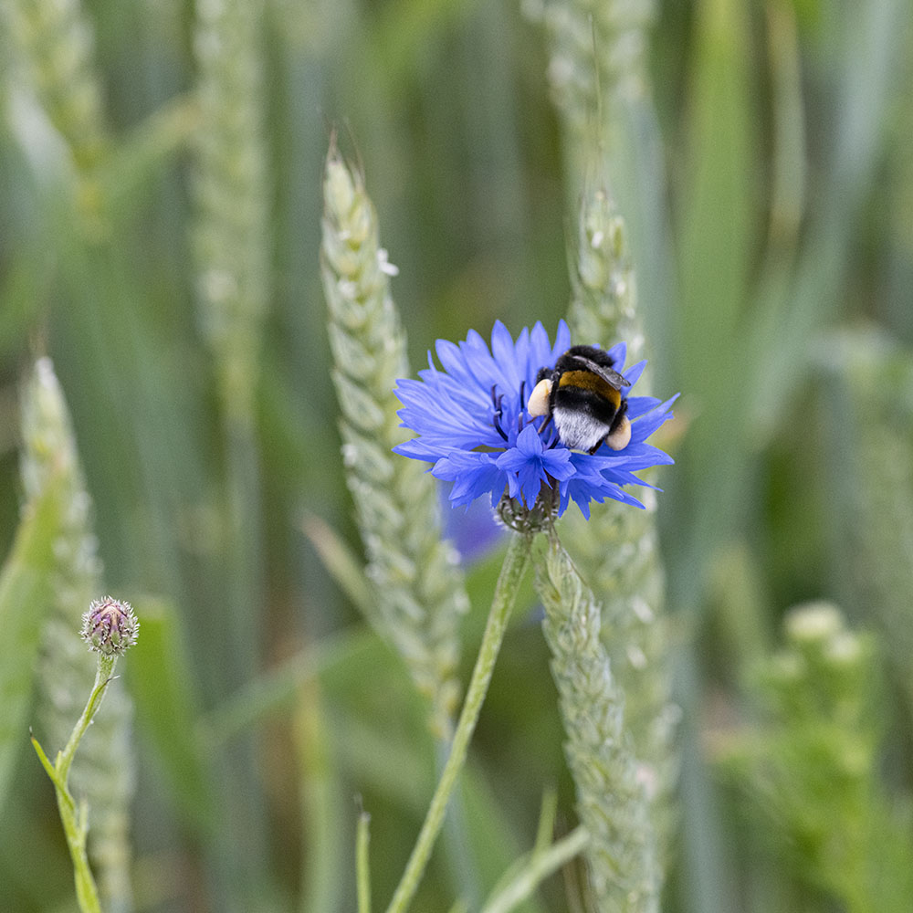 Biene auf einer Blume im Getreide-Feld