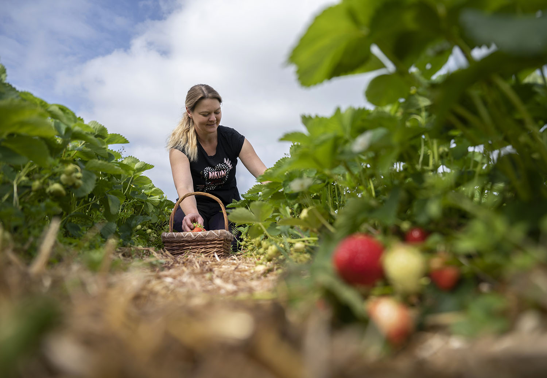 Jessica Piper pflückt Erdbeeren auf dem Feld