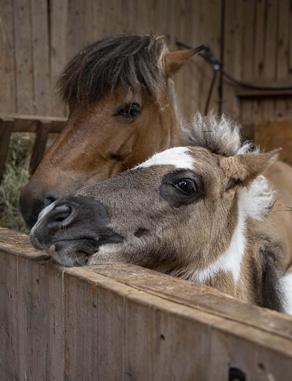 Pferde auf dem Erdbeer-Hof