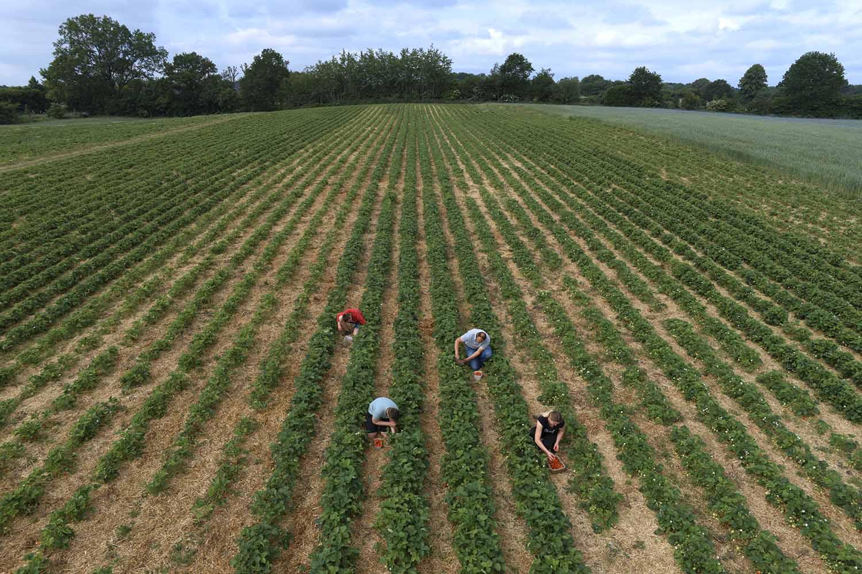 Familie Piper pflückt Erdbeeren auf dem Feld