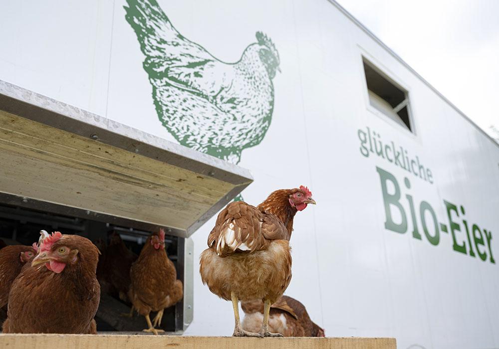 Freilaufende Hühner auf dem Erdbeer-Hof