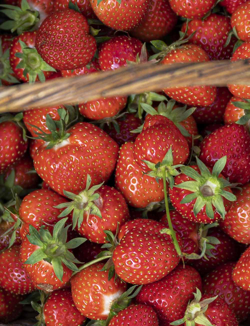 Frisch gepflückte Bio-Erdbeeren in einem Korb