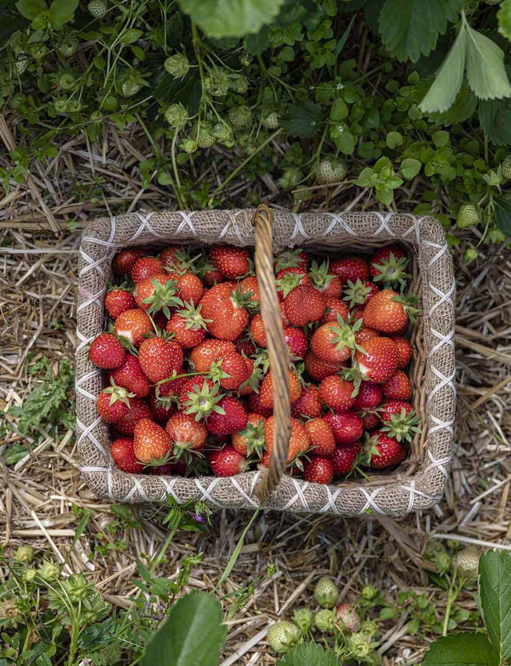 Gepflückte Erdbeeren im Korb