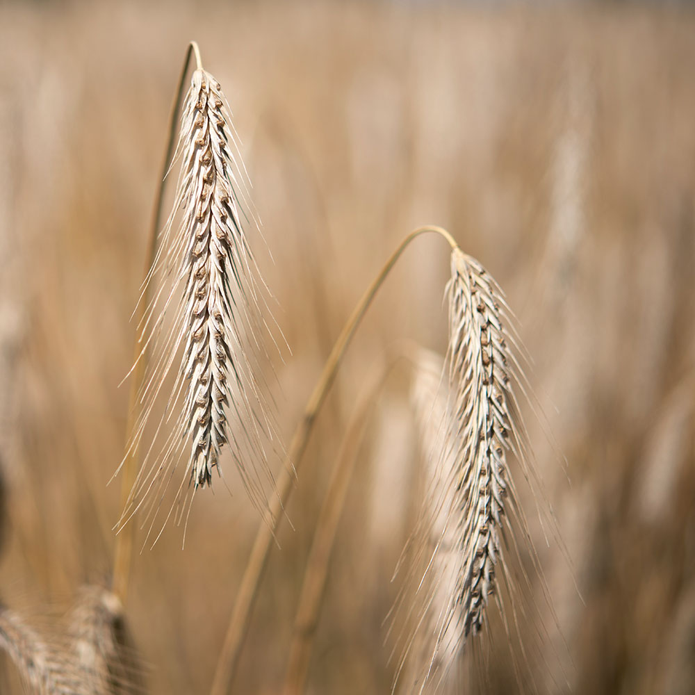 Roggen auf dem Getreide-Feld