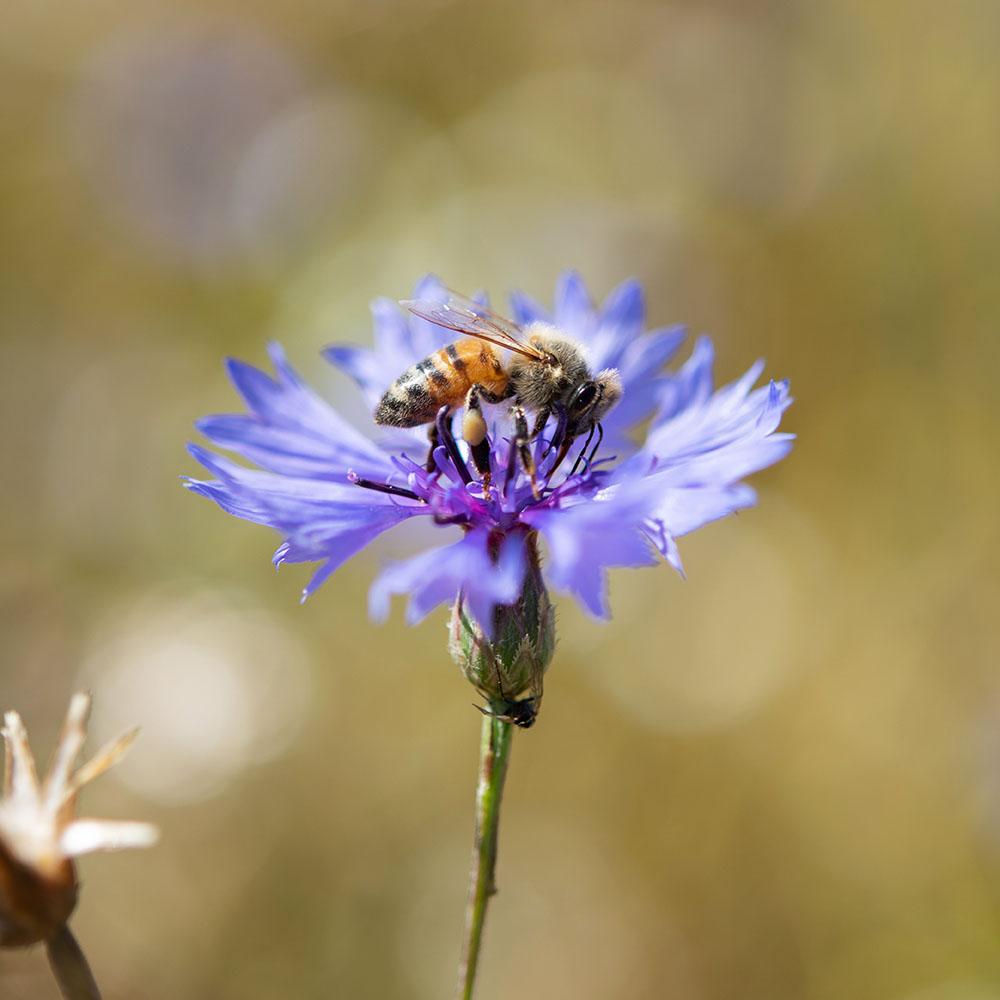 Eine Biene auf dem Getreide-Feld