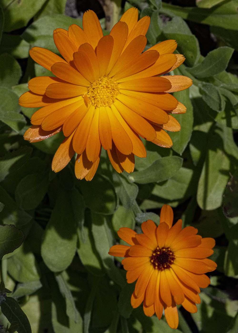 Essbare Blüte Ringelblume