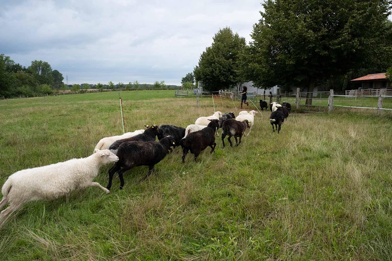 Eine Herde Krainer Milchschafe rennt zum Melkstand