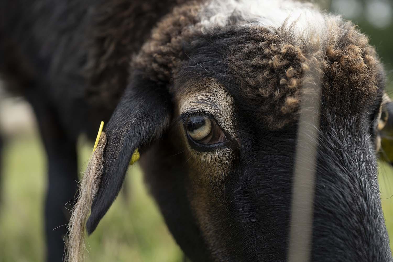 Kopf eines Schafes in Nahaufnahme