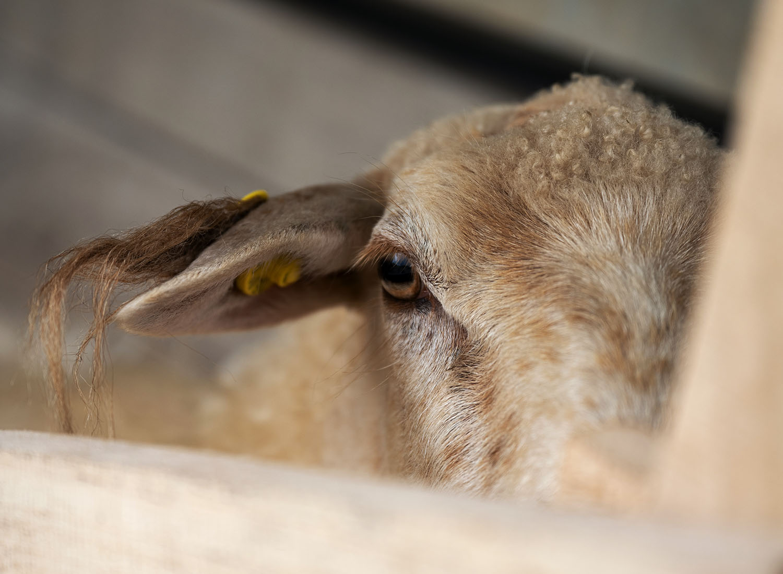 Krainer Milchschaf guckt aus dem Melkstand