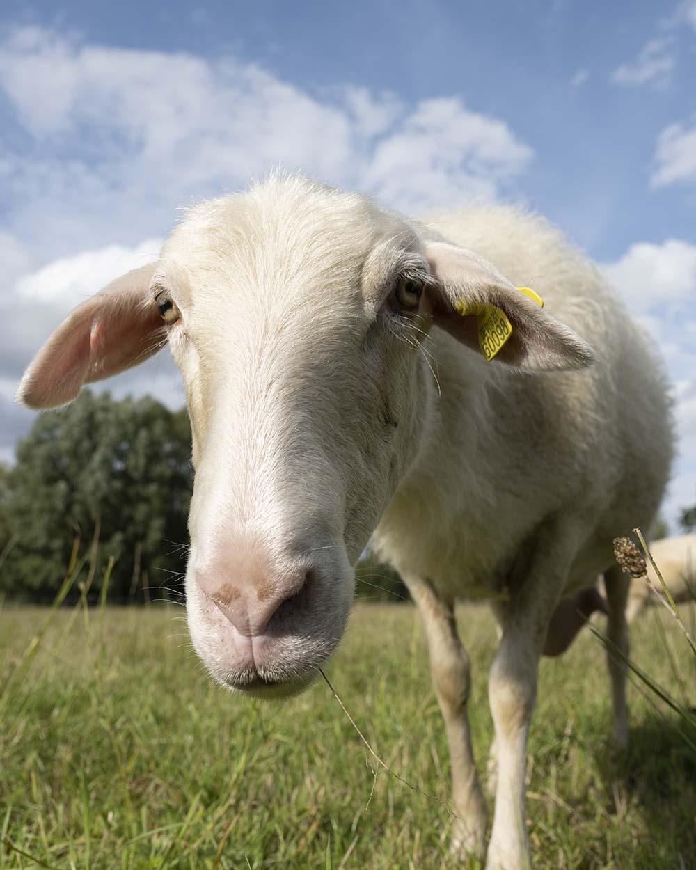Schafe sind neugierig