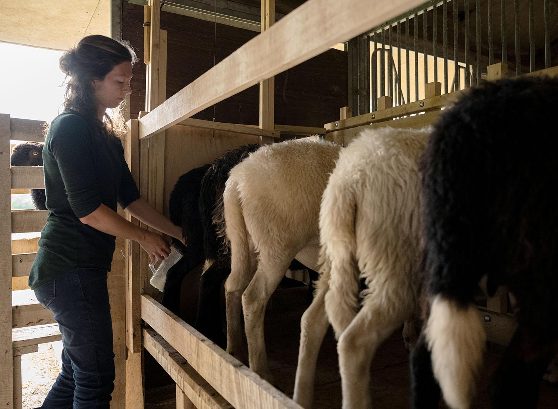 Schäferin Sandra melkt ihre Schafe